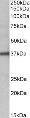 FUT2 Antibody in Western Blot (WB)