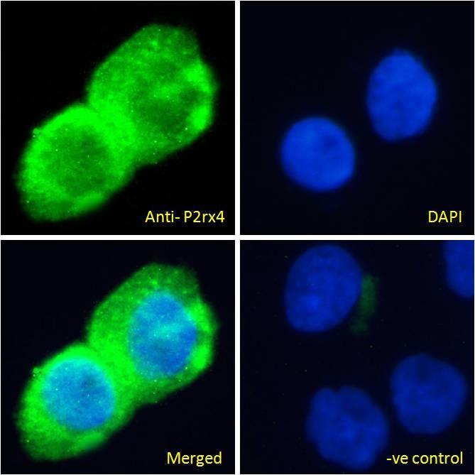 P2X4 Antibody in Immunofluorescence (IF)