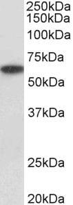 P2X4 Antibody in Western Blot (WB)