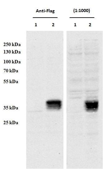 CCDC3 Antibody in Western Blot (WB)