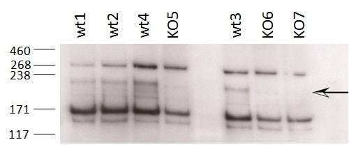 ZCCHC11 Antibody in Western Blot (WB)