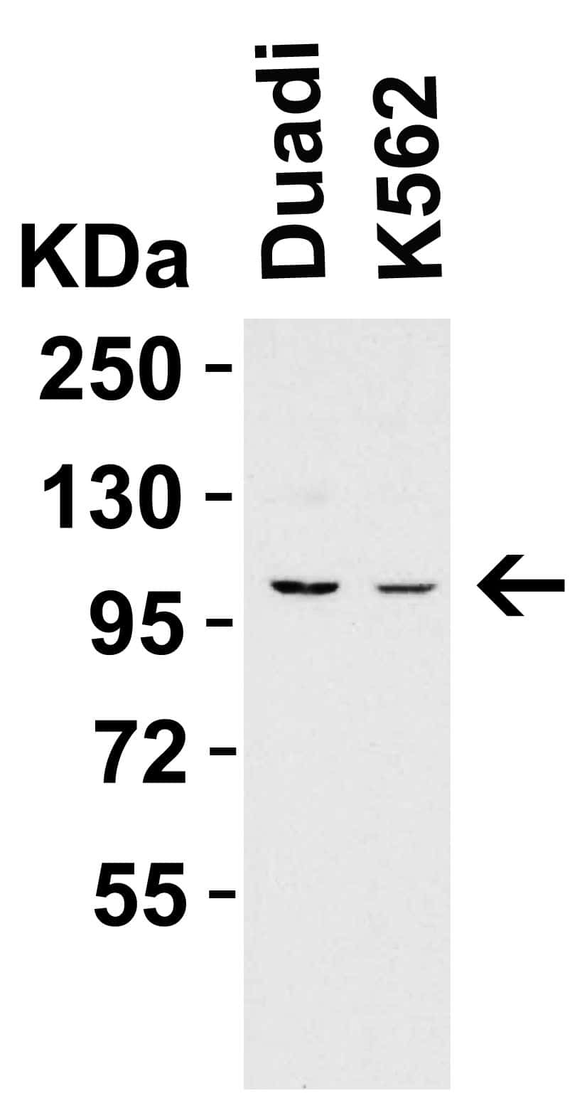 PGC1 alpha Antibody in Western Blot (WB)