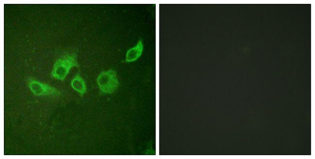 Phospho-Crk (Tyr221) Antibody in Immunofluorescence (IF)