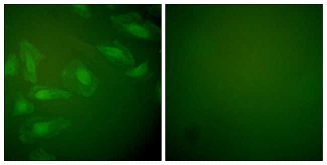 DJ-1 Antibody in Immunofluorescence (IF)