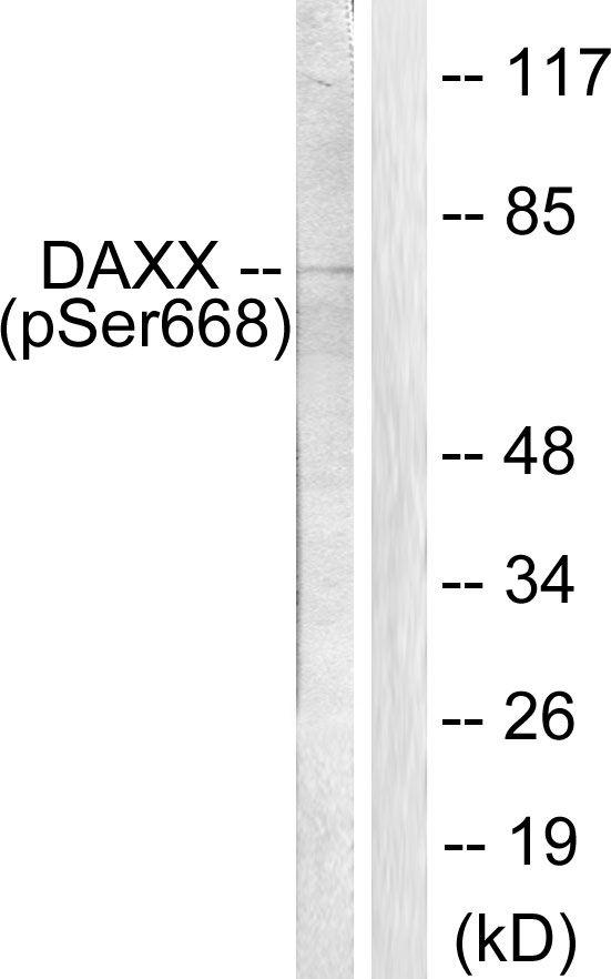 Phospho-DAXX (Ser668) Antibody in Western Blot (WB)