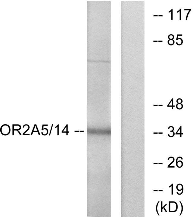 OR2A5/OR2A14 Antibody in Western Blot (WB)