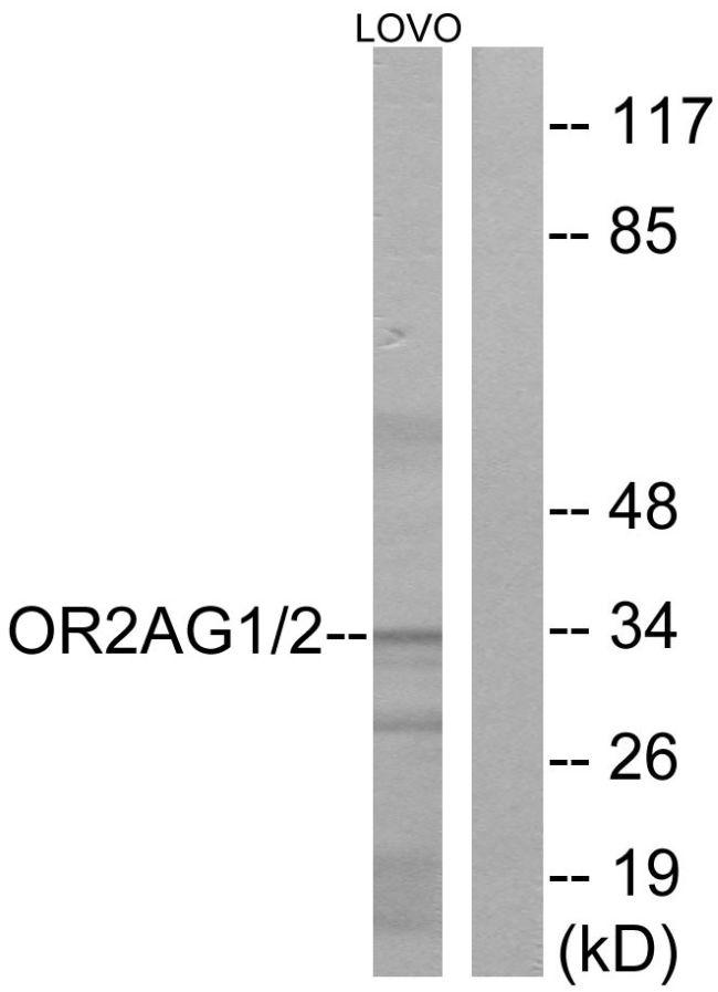 OR2AG1/OR2AG2 Antibody in Western Blot (WB)
