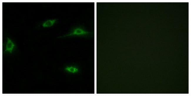 OR2T11 Antibody in Immunofluorescence (IF)