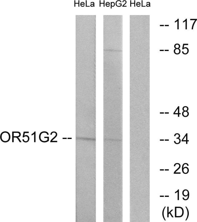 OR51G2 Antibody in Western Blot (WB)