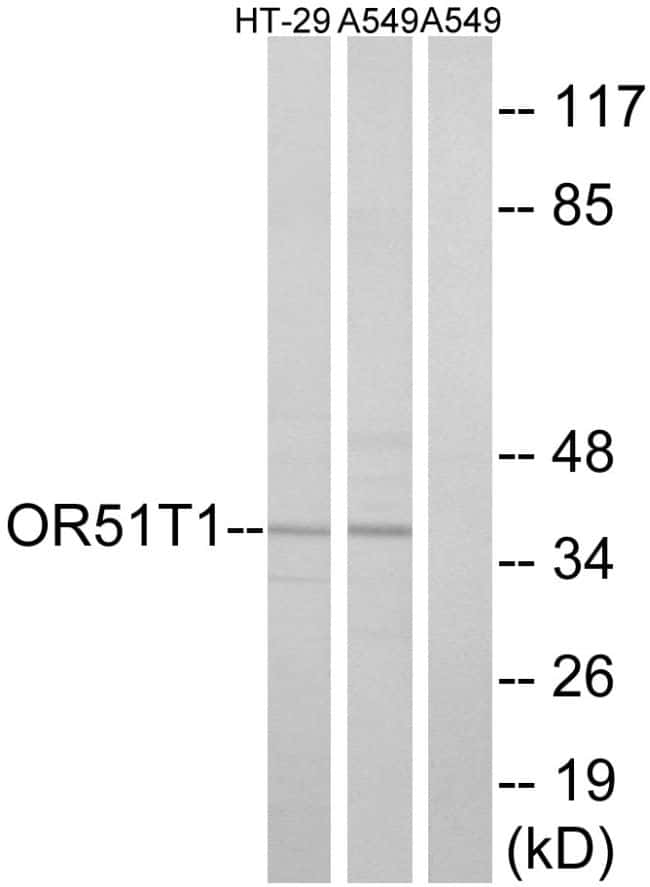 OR51T1 Antibody in Western Blot (WB)