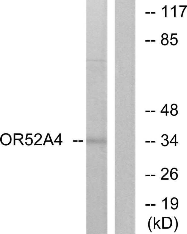 OR52A4 Antibody in Western Blot (WB)