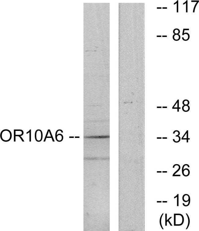 OR10A6 Antibody in Western Blot (WB)