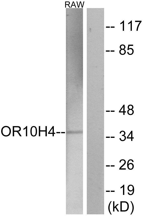 OR10H4 Antibody in Western Blot (WB)