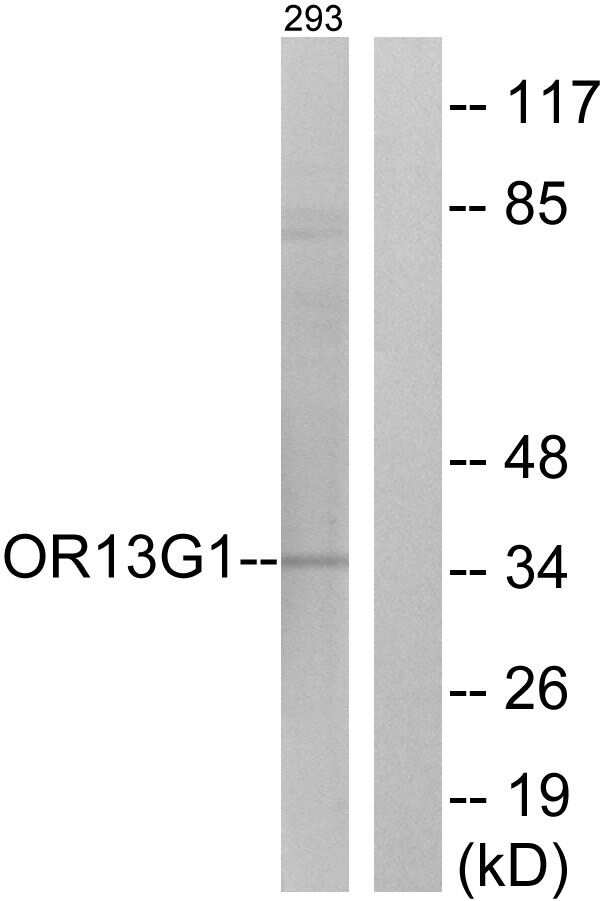 OR13G1 Antibody in Western Blot (WB)