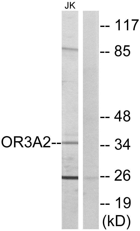 OR3A2 Antibody in Western Blot (WB)