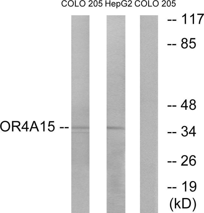 OR4A15 Antibody in Western Blot (WB)