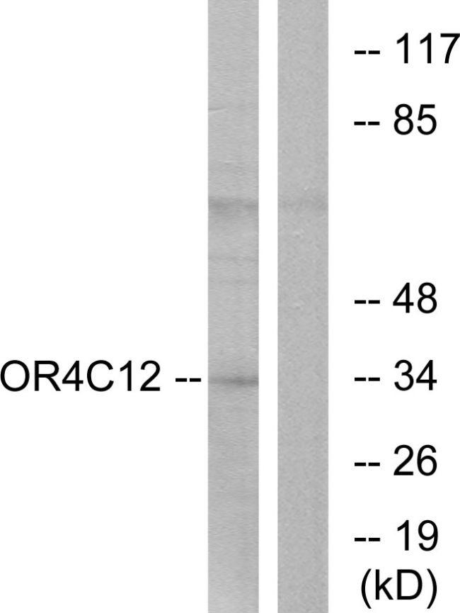 OR4C12 Antibody in Western Blot (WB)
