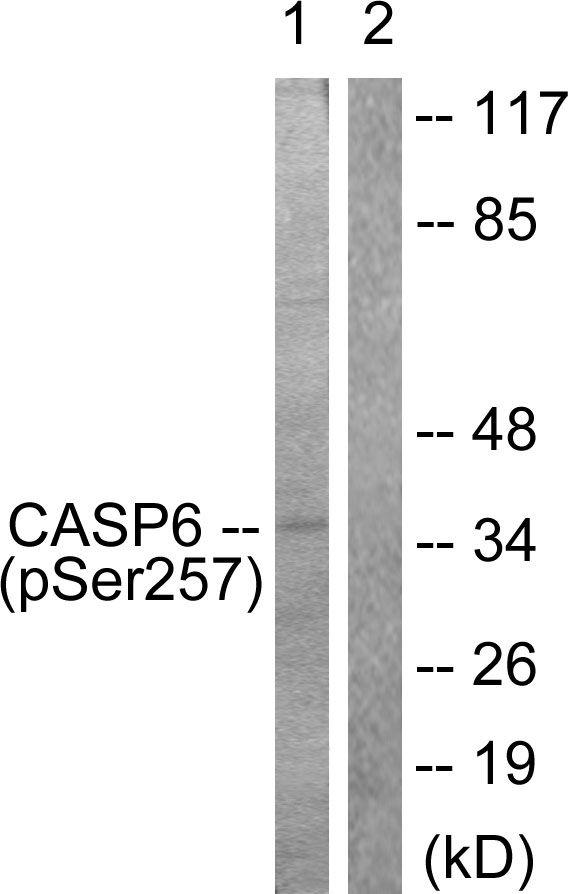 Phospho-Caspase 6 (Ser257) Antibody in Western Blot (WB)