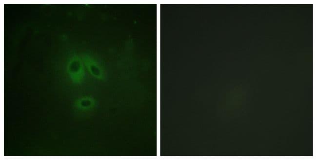 Phospho-nNOS (Ser852) Antibody in Immunofluorescence (IF)