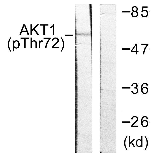 Phospho-AKT1 (Thr72) Antibody in Western Blot (WB)