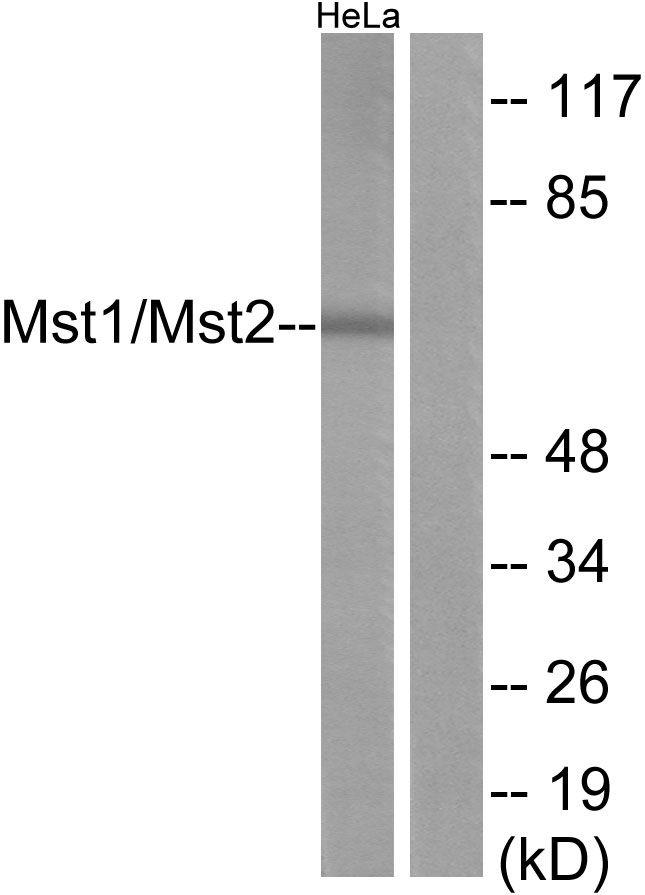 MST1/MST2 Antibody in Western Blot (WB)