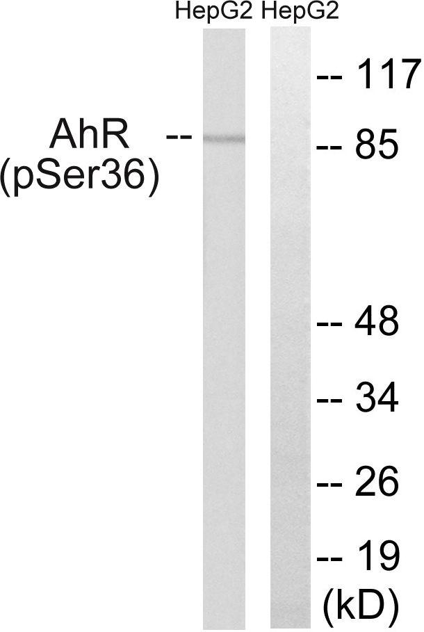 Phospho-AHR (Ser36) Antibody in Western Blot (WB)