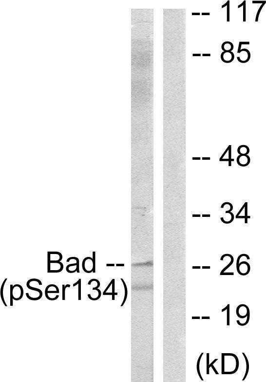 Phospho-BAD (Ser134) Antibody in Western Blot (WB)