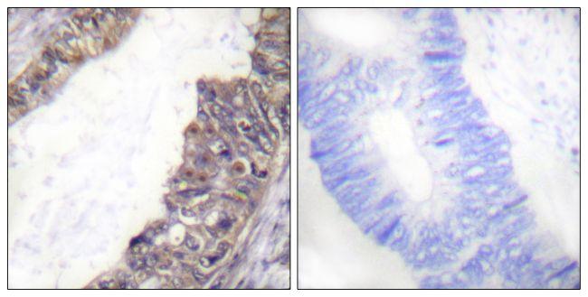 Phospho-Kir3.1 (Ser185) Antibody in Immunohistochemistry (Paraffin) (IHC (P))