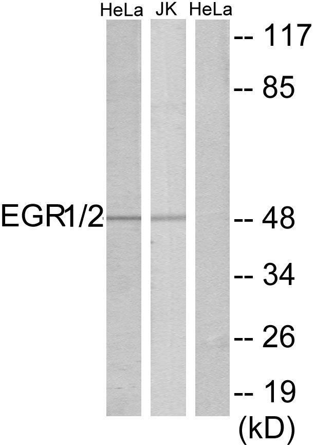 EGR1/EGR2 Antibody in Western Blot (WB)