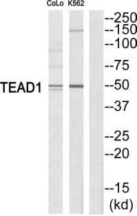 TEF1 Antibody in Western Blot (WB)