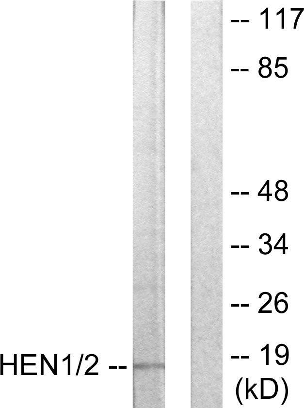 HEN1/HEN2 Antibody in Western Blot (WB)