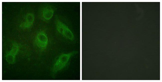 MAP4 Antibody in Immunofluorescence (IF)