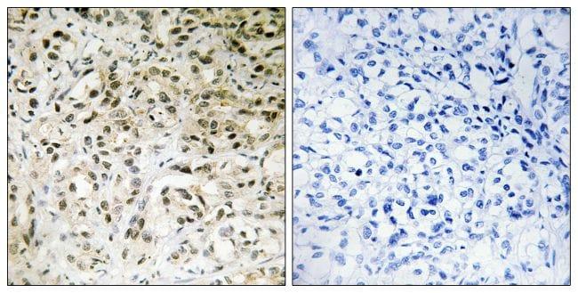 TAF5 Antibody in Immunohistochemistry (Paraffin) (IHC (P))