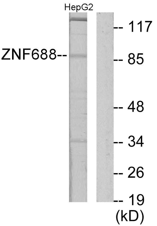 ZNF688 Antibody in Western Blot (WB)