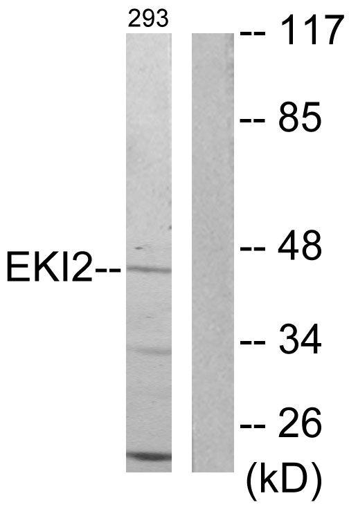 ETNK2 Antibody in Western Blot (WB)