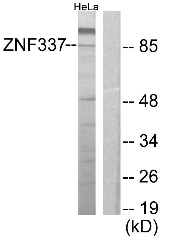 ZNF337 Antibody in Western Blot (WB)