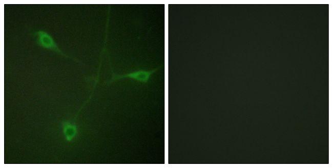Phospho-HSP90 beta (Ser226) Antibody in Immunofluorescence (IF)