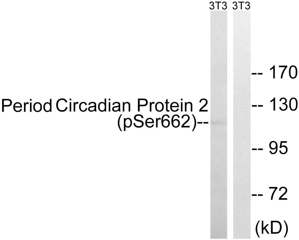 Phospho-PER2 (Ser662) Antibody in Western Blot (WB)