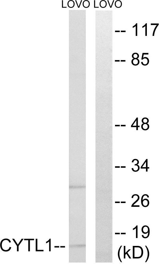 CYTL1 Antibody in Western Blot (WB)