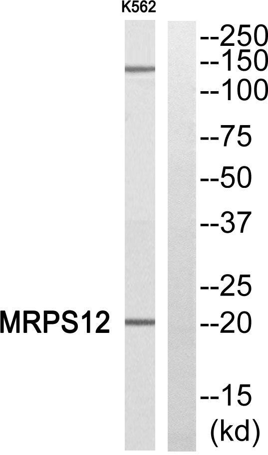 MRPS12 Antibody in Western Blot (WB)