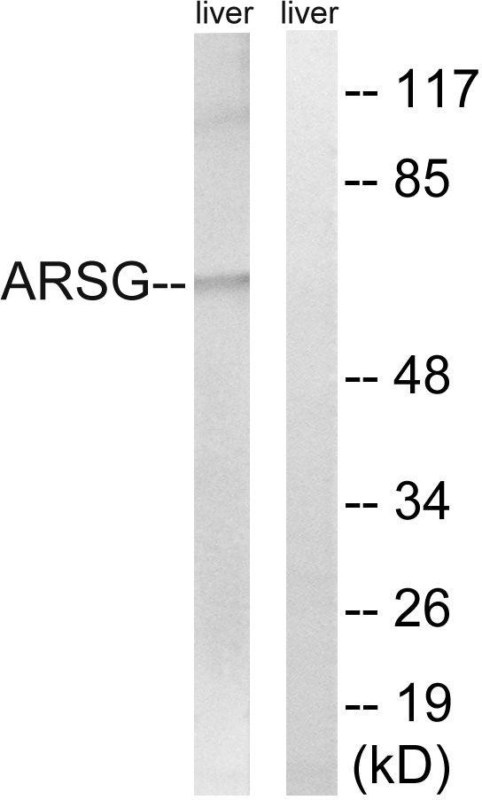 Arylsulfatase G Antibody in Western Blot (WB)