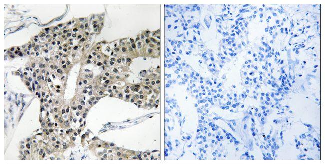 ARSK Antibody in Immunohistochemistry (Paraffin) (IHC (P))