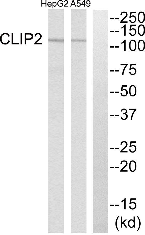 CLIP2 Antibody in Western Blot (WB)