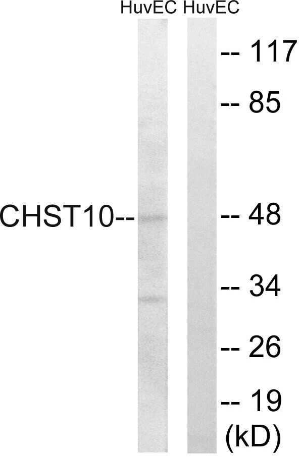 CHST10 Antibody in Western Blot (WB)