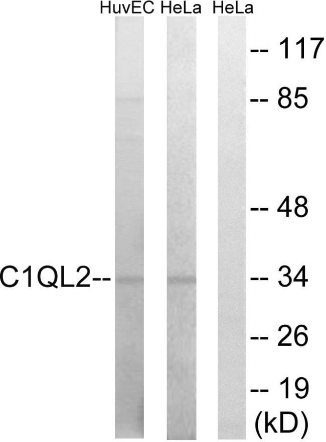 C1QL2 Antibody in Western Blot (WB)