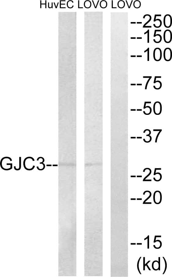 Connexin 29 Antibody in Western Blot (WB)