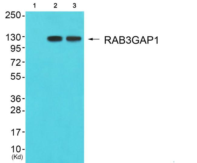 RAB3GAP1 Antibody in Western Blot (WB)