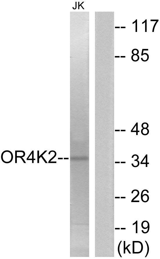 OR4K2 Antibody in Western Blot (WB)