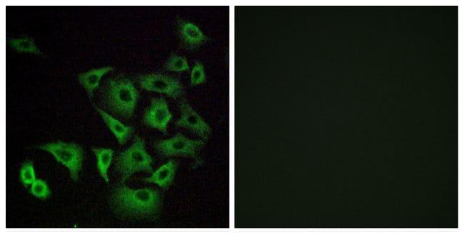 OR4K14 Antibody in Immunofluorescence (IF)