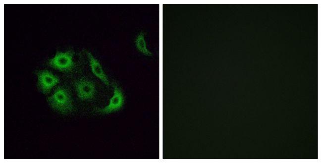 OR4P4 Antibody in Immunofluorescence (IF)